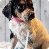 Adopt A Pet :: Pauline - Waldorf, MD