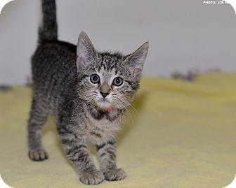 Domestic Shorthair Kitten for adoption in Medina, Ohio - Riviera