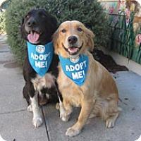 Golden Retriever/Labrador Retriever Mix Dog for adoption in Pacific Grove, California - Bethany