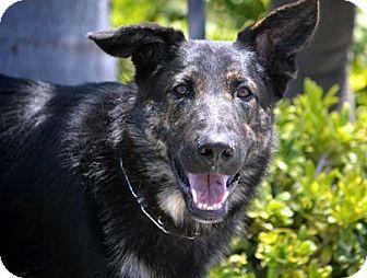 German Shepherd Dog Dog for adoption in Mira Loma, California - Kylo