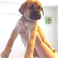 Adopt A Pet :: Sage - Chino Hills - Chino Hills, CA
