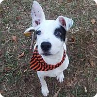 Adopt A Pet :: Sparrow - St. Charles, MO