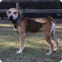 Adopt A Pet :: PJ - Charlotte, NC