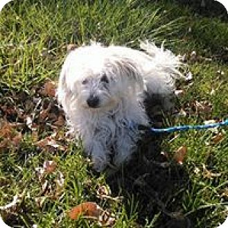 Bichon Frise/Maltese Mix Dog for adoption in E. Wenatchee, Washington - Beethoven