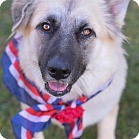 German Shepherd Dog/Great Pyrenees Mix Dog for adoption in Denver, Colorado - India *ADOPTION PENDING*