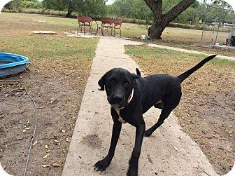 Shepherd (Unknown Type)/Labrador Retriever Mix Dog for adoption in Brownsville, Texas - Mason