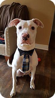 Boxer Mix Dog for adoption in Alexandria, Virginia - Bodhi