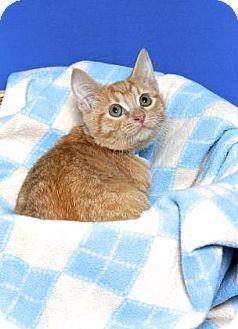 Domestic Shorthair Kitten for adoption in Gloucester, Virginia - CHUCKY