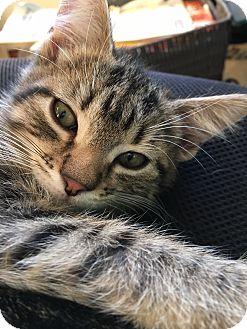 Domestic Shorthair Kitten for adoption in Middleton, Wisconsin - Jack