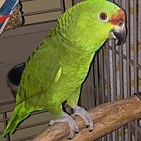 Adopt A Pet :: Coco - Tampa, FL