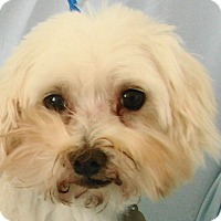 Adopt A Pet :: Peanut - Chesterfield, MO