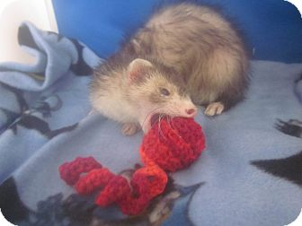 Ferret for adoption in Toledo, Ohio - Kiara