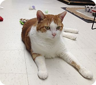 Domestic Shorthair Cat for adoption in Island Park, New York - Rufus