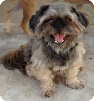 Shih Tzu/Lhasa Apso Mix Dog for adoption in Las Vegas, Nevada - Bobby