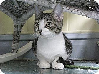 Domestic Shorthair Cat for adoption in Maywood, Illinois - Sage