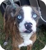 Boston Terrier Mix Dog for adoption in Gaffney, South Carolina - Betty Davis- Boston mix 35 lbs