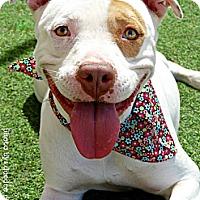 Adopt A Pet :: Glacier - Scottsdale, AZ