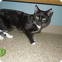 Adopt A Pet :: Socks - Medina, OH