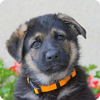 Adopt A Pet :: Gilbert von Gretchen - Thousand Oaks, CA