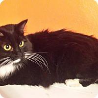 Adopt A Pet :: Christmas Kitty - Ennis, TX