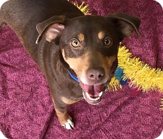 German Pinscher Mix Dog for adoption in Philadelphia, Pennsylvania - Neva