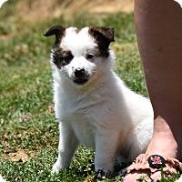 Adopt A Pet :: Mercedes - Groton, MA