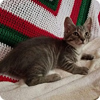 Domestic Shorthair Kitten for adoption in Bedford, Virginia - P.J.