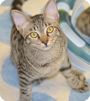 Domestic Shorthair Kitten for adoption in San Leon, Texas - Neville