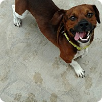 Adopt A Pet :: Jaxson - Hanna City, IL