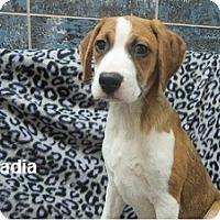 Adopt A Pet :: Nadia - Bartonsville, PA