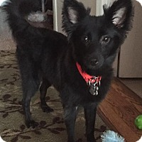 Adopt A Pet :: Duchess - Atlanta, GA