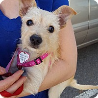 Chihuahua Mix Puppy for adoption in Kamloops, British Columbia - Sandy