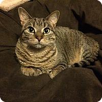 Domestic Shorthair Cat for adoption in Manhattan, Kansas - Boo