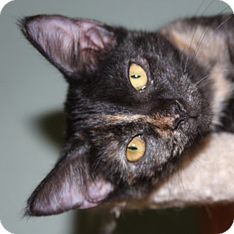Domestic Shorthair Cat for adoption in Fairfax, Virginia - Nidorina