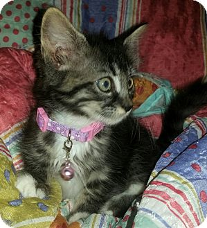 Maine Coon Kitten for adoption in Winterville, North Carolina - MAYBEL