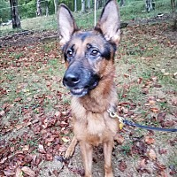 German Shepherd Dog Dog for adoption in Louisville, Kentucky - Titus