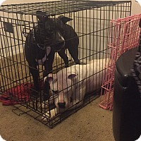 Adopt A Pet :: Ghost (COURTESY POST) - Baltimore, MD