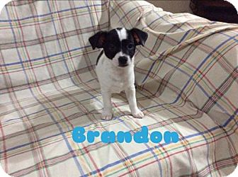 Boston Terrier/Chihuahua Mix Puppy for adoption in Long Beach, California - Neptune