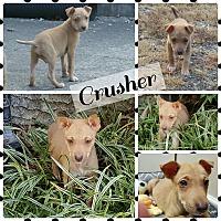 Adopt A Pet :: Crusher - Gainesville, GA