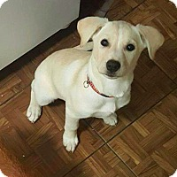 Husky Mix Puppy for adoption in New York, New York - Ellie