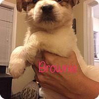 Spaniel (Unknown Type) Mix Puppy for adoption in Fort Atkinson, Wisconsin - Brownie