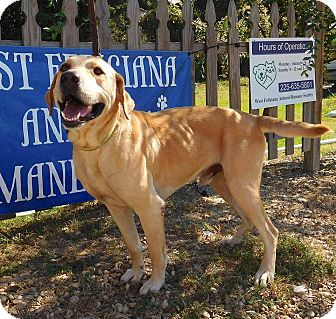 Labrador Retriever/Golden Retriever Mix Dog for adoption in St. Francisville, Louisiana - John Deere
