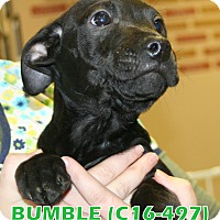 Adopt A Pet :: Bumble - Tiffin, OH