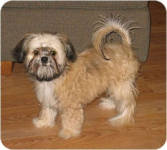 Brady - ADOPTION PENDING   Adopted Puppy   Clinton, CT ... Adopt A Brussels Griffon Puppy
