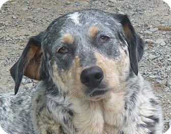 Blue Heeler/Hound (Unknown Type) Mix Dog for adoption in Paron, Arkansas - EARL