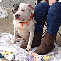 Adopt A Pet :: Jasper - Courtesy Posting - Trenton, NJ