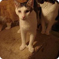 Adopt A Pet :: Aztec (POLYDACTYL) - Chesapeake, VA