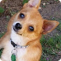 Adopt A Pet :: Tiny Dingo - La Habra Heights, CA