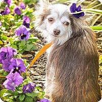 Adopt A Pet :: Adelaide - Gainesville, FL