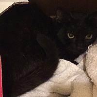 Bombay Kitten for adoption in Sunny Isles Beach, Florida - Beauty aka Sadie